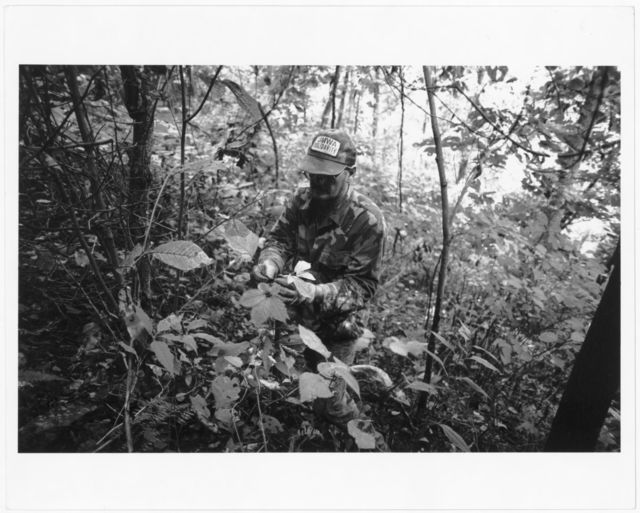 Randy Sprouse gathering ginseng ('senging) in Tom's Hollow