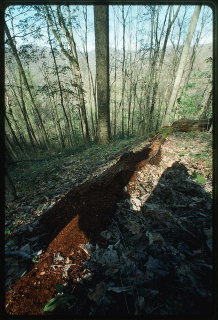 View of the Julie Hollow, with rotting chestnut (Castanea dentata) log in foreground