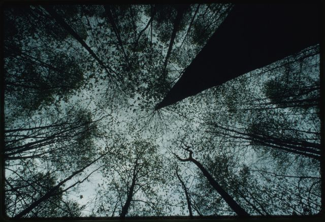 Worm's-eye view of the cove canopy