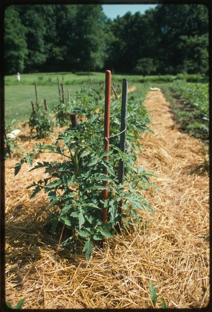 A tomato plant staked with a broom handle in Ben Burnside's garden