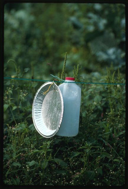 Aluminum pie plates and plastic milk jugs are used to keep birds out of Ben Burnside's garden