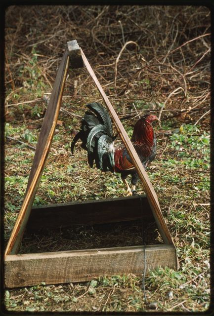 Game cock and shelter