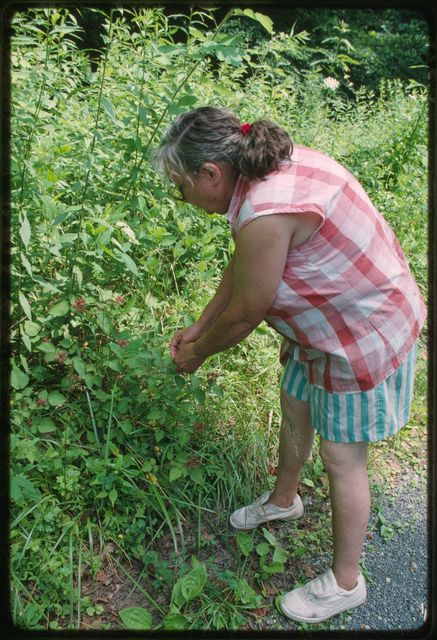 Sally Webb picking wineberries