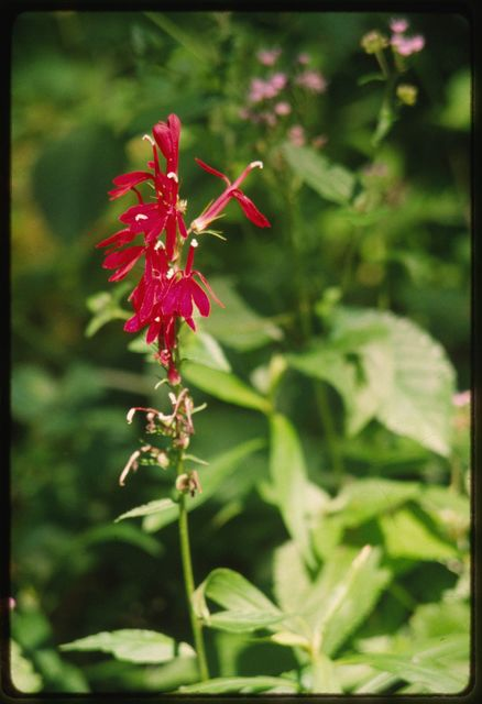 Cardinal flower (Lobelia) blooming in the ruins of Sewell, an early coal and coke town in the New River Gorge