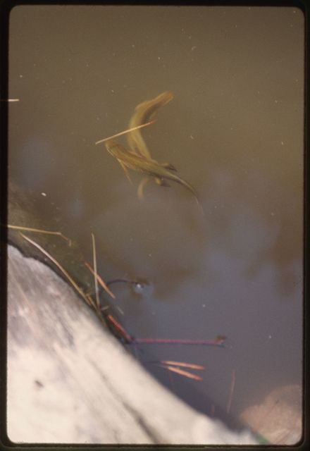 A pond brimming with tadpoles and red-spotted newts (notophthalmus viridescens subspecies)