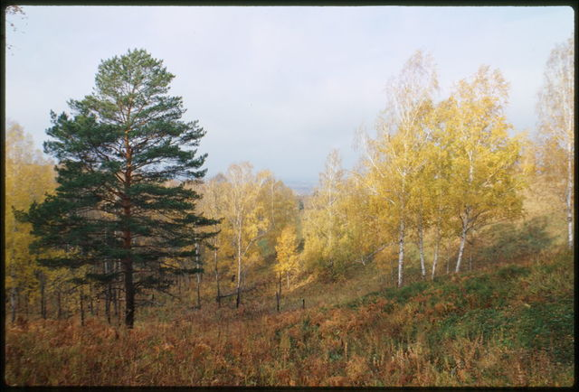 Fall landscape, pine tree and birch grove near Sinii Utyos, Russia
