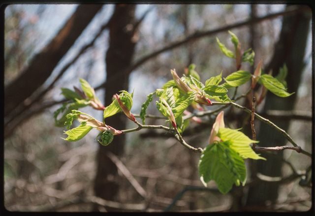 """""""Swamp maple,"""" also known as Goosefoot or Striped maple, on Bradley Mountain"""