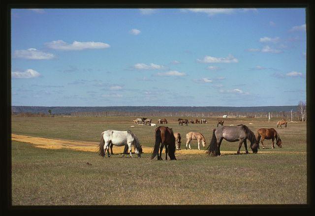 Us-Khatyn festival site, Yakut horses, Yakutsk, Russia