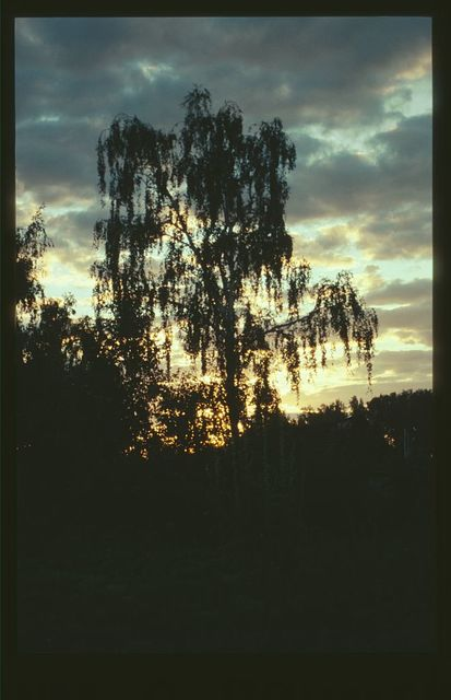 Birch tree in cottage garden, July evening, Dubrovka, Russia