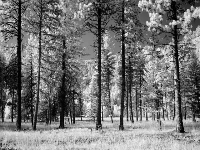Forest of trees, Montana