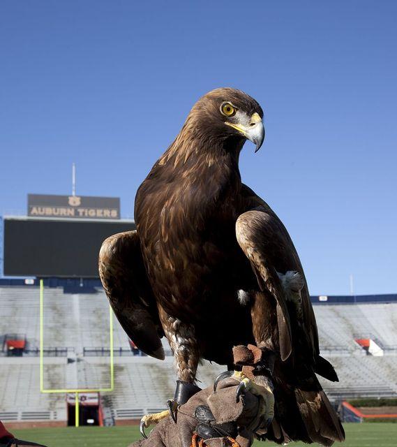 The golden eagle that flys at the Auburn University's football game every year, Auburn, Alabama