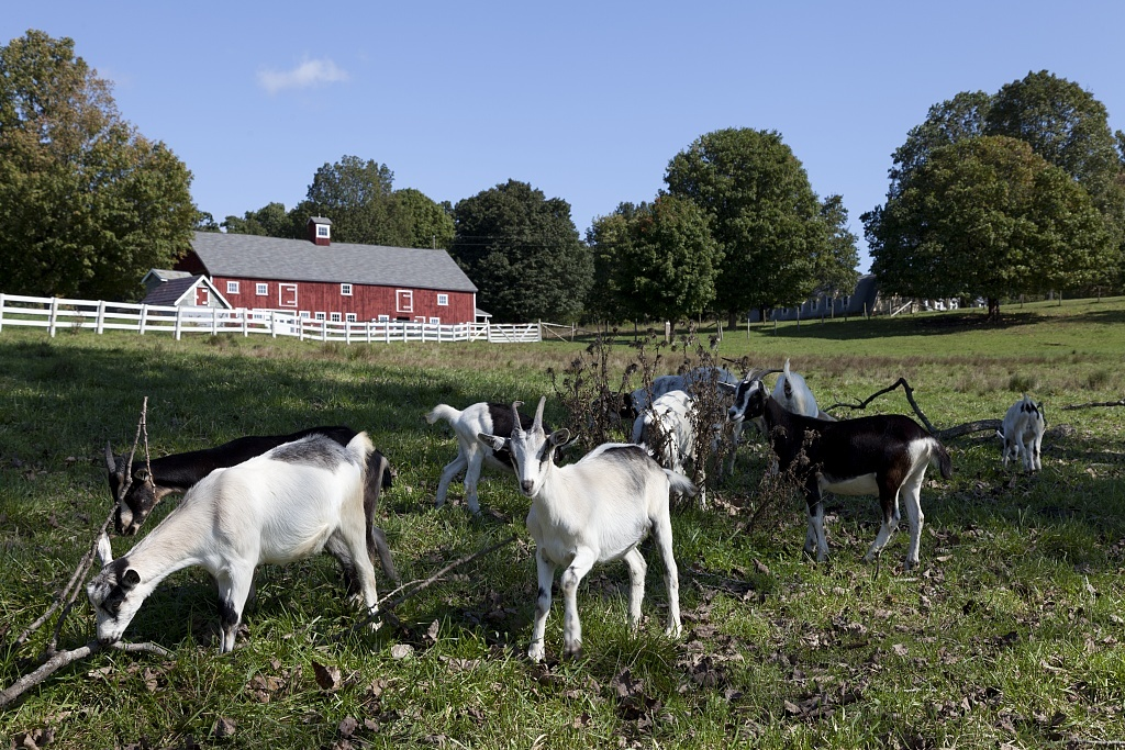 Goats at a tobacco barn in Windsor, Connecticut