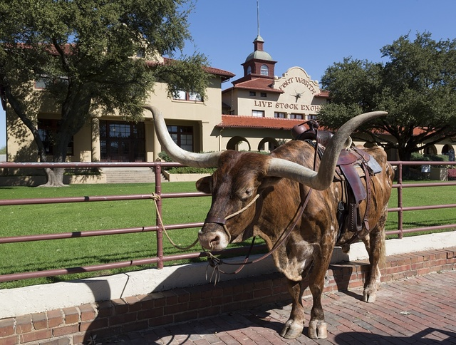 """A longhorn cow, awaiting a """"roundup"""" (for tourists' benefit) in the Stockyards, historic livestock-market district in Fort Worth, Texas"""