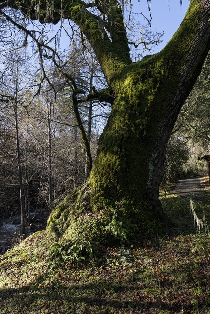 A moss-covered tree along Mill Creek, beside the Bale Grist Mill, now a California Historic Park, operated by the Napa County Regional Park and Open Space District on California Highway 29 between St. Helena and Calistoga