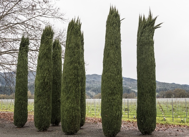 Carefully sculpted entryway bushes in Rutherford in the wine country of Napa Valley, California
