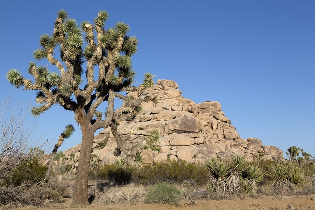 Joshua Tree National Park is located in southeastern California