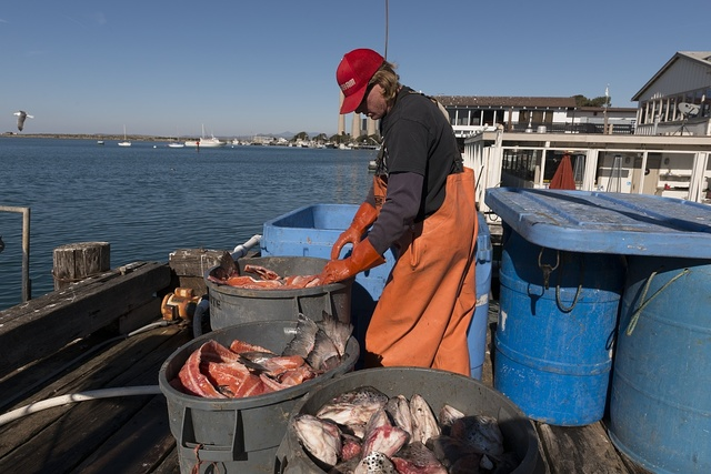 A fishery worker processes a catch in Morro Bay on California's Central Coast