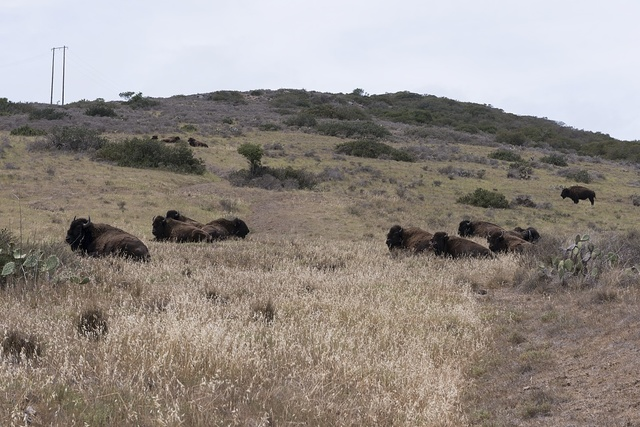 Bison on Santa Catalina Island, a rocky island off the coast of California
