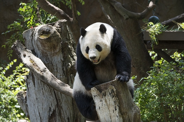 Panda from the San Diego Zoo. Balboa Park, San Diego, California