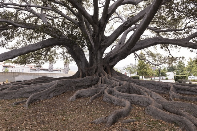 Santa Barbara's Moreton Bay Fig Tree located in Santa Barbara, California, is believed to be the largest Ficus macrophylla in the country