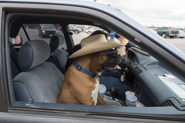 A canine contributor to a parade of vehicles and cowpokes at the Stockyards Station neighborhood of Fort Worth, Texas