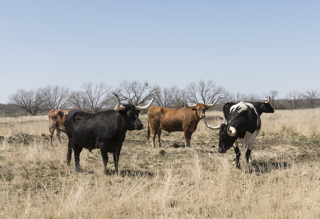 A herd of longhorn cattle that grazes near the Fort Griffin townsite, near the U.S. Army's frontier post of Fort Griffin in Shackelford County, Texas