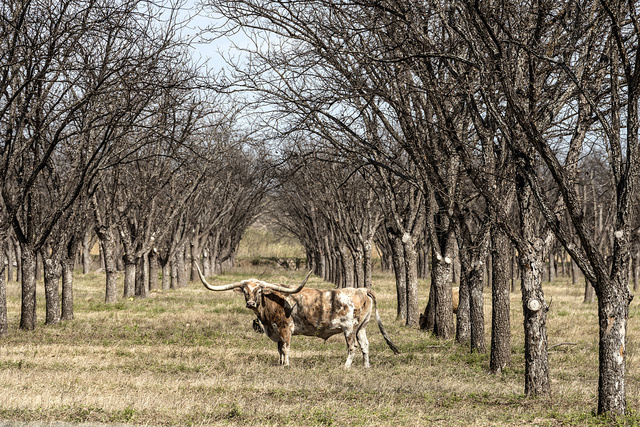 A longhorn steer appears to pose in a thicket in rural Kinney County, Texas