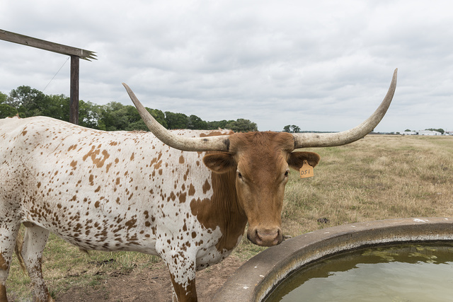 A longhorn steer takes a break from grazing at the George Ranch Historical Park, a 20,000-acre working ranch in Fort Bend County, Texas, featuring historic homes, costumed interpreters and livestock