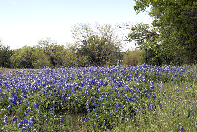 A pretty field of bluebonnets, the Texas State Flower, near Marble Falls in Burnet County in the Texas Hill Country