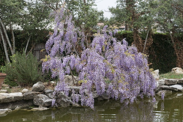A rich array of wisteria shields a house in Burnet in the Texas Hill Country