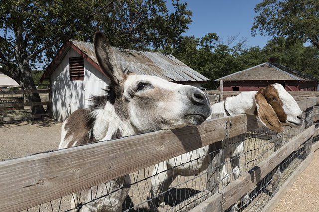 A spotted donkey and a friendly goat at the Heritage Farmstead Museum, a living-history site interpreting the Texas Blackland Prairie region in North Texas in Plano, a northern suburb of Dallas, Texas
