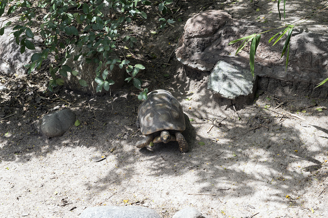 A tortoise at the Gladys Porter Zoo in Brownsville, Texas