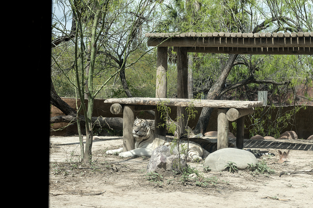 A white tiger relaxes at the Gladys Porter Zoo in Brownsville, Texas
