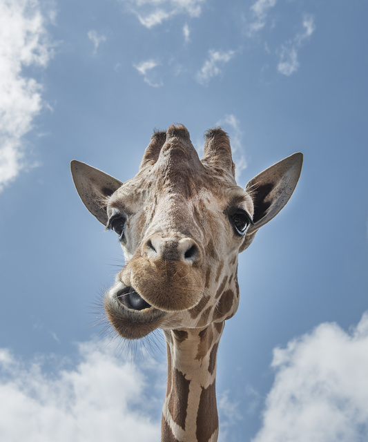 An up-close look at a giraffe at the Gladys Porter Zoo in Brownsville, Texas