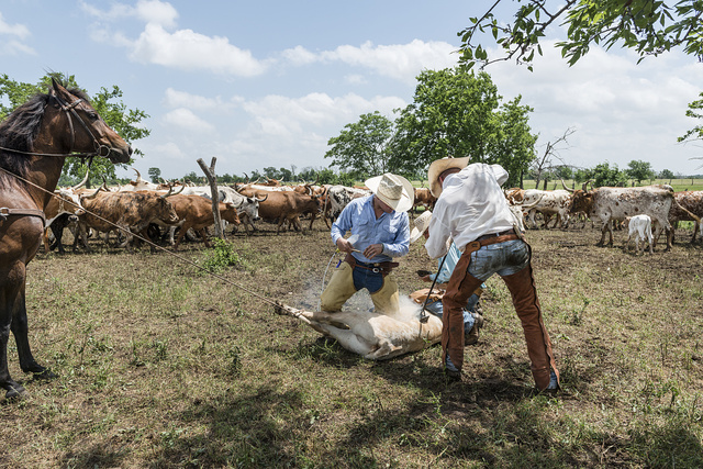 Branding day for heifers at the 1,800-acre Lonesome Pine Ranch, a working cattle ranch that is part of the Texas Ranch Life ranch resort near Chappell Hill in Austin County, Texas