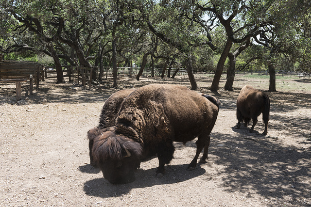 Buffaloes, or American bison, at the Enchanted Springs Ranch, a working ranch in Boerne, Texas, whose Old West Town is often used in movies and videos