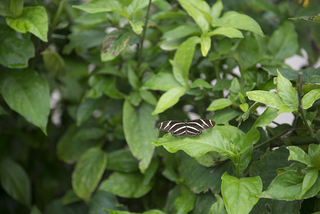 Butterflies flutter amid the foliage of the South Texas Botanical Gardens and Nature Center in Corpus Christi, Texas