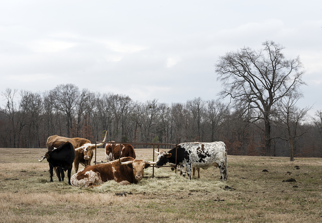 [Cattle on a ranch near Mount Pleasant, Texas]