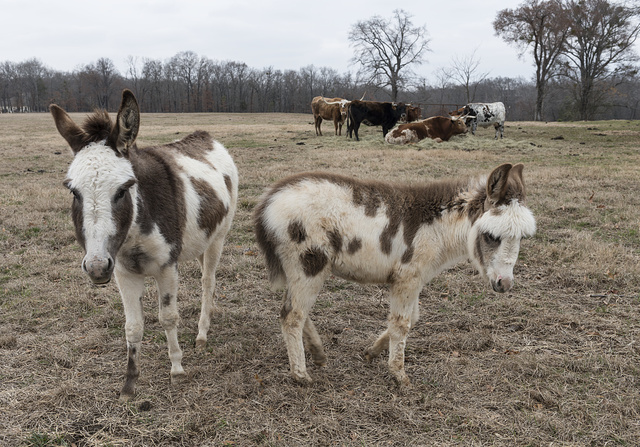 [Colorful donkeys on a ranch near Mount Pleasant, Texas]