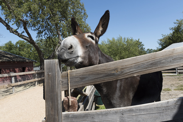 Engaging mule at the Heritage Farmstead Museum, a living-history site interpreting the Texas Blackland Prairie region in North Texas in Plano, a northern suburb of Dallas, Texas