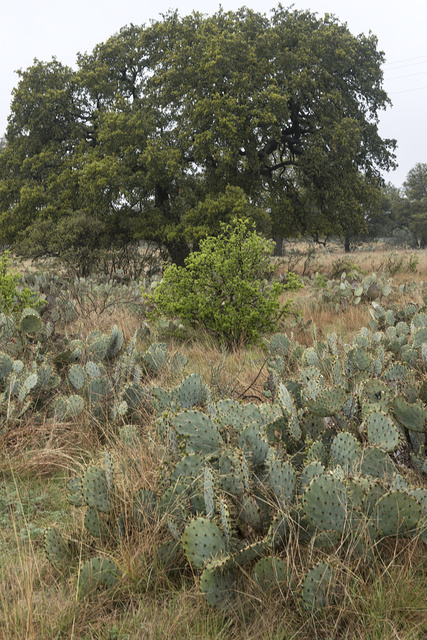 [Field full of cacti near Burnet in the Texas Hill Country]