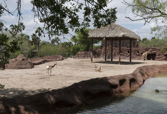 Gazelles and giraffes on a moat-protected island at the Gladys Porter Zoo in Brownsville, Texas