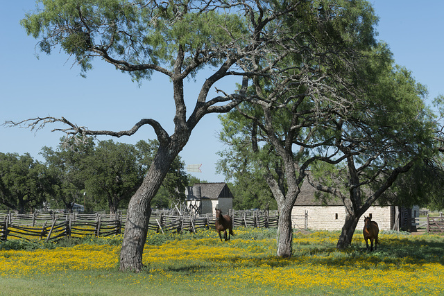 Horses gallop toward the camera in a wildflower-rich National Park Service meadow in Johnson City, Texas