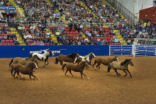 Horses run free as part of a brief program about Texas's wild horses at Rodeo Austin, the city's annual stock show and rodeo. Austin, Texas