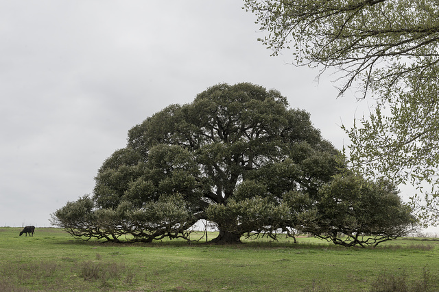 Iconic, low-hanging Texas tree near the town of Schulenburg in Fayette County, Texas