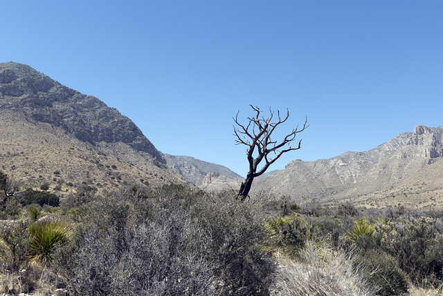 Lone tree in a valley on the edge of Guadalupe Mountains National Park in Hudspeth County, Texas, near the New Mexico border