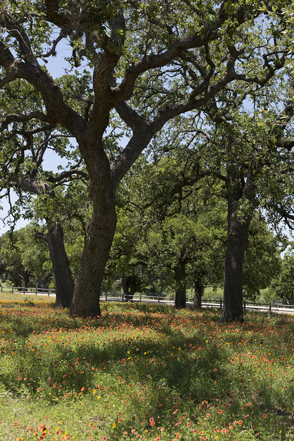Lovely combination of shade trees and vivid wildflowers on the LBJ Ranch, once home to President Lyndon B. Johnson and his wife, Lady Bird Johnson, near Stonewall in the Texas Hill Country