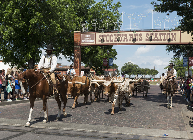 One of the twice-daily parades of longhorn steers (for tourists' enjoyment) up Exchange Street in the Stockyards District of Fort Worth, Texas