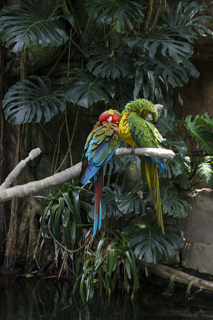 Parrots at the Rainforest Pyramid at Moody Gardens, an educational tourist attraction in Galveston, Texas