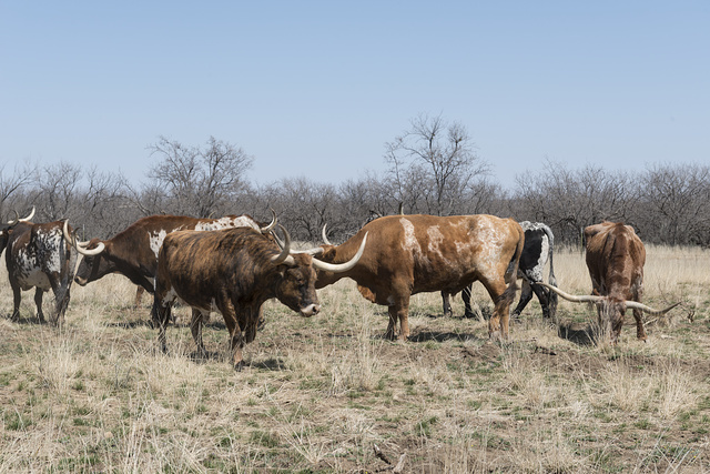 Part of the State of Texas's official longhorn herd, kept at Fort Griffin, a state historic site in Shackelford County, Texas
